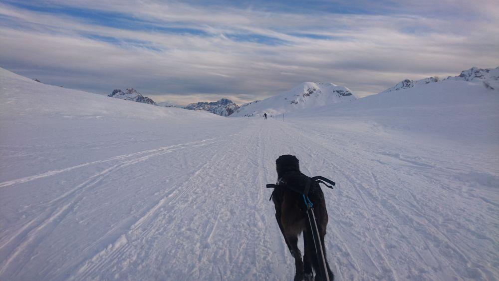 Gestreckter Galopp mit Zuggeschirr in den Dolomiten
